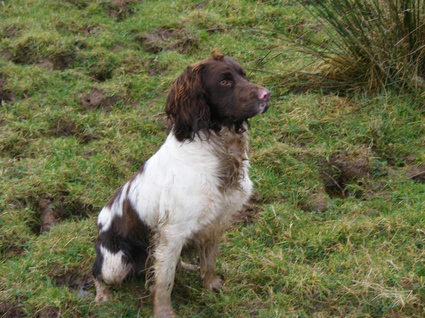 Givendale English Springer Spaniels County Leitrim Ireland