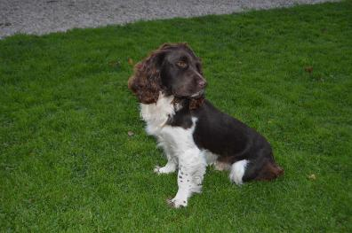 Givendale English Springer Spaniels